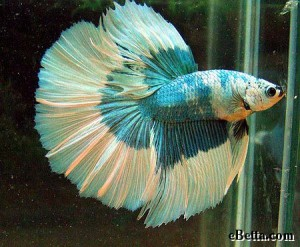 green-betta-fish.jpg